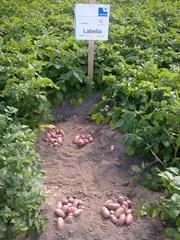семенной картофель для Профессионалов Тернопольщины