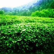 Контейнерные поставки чая,  провинция Анхой,  Китай